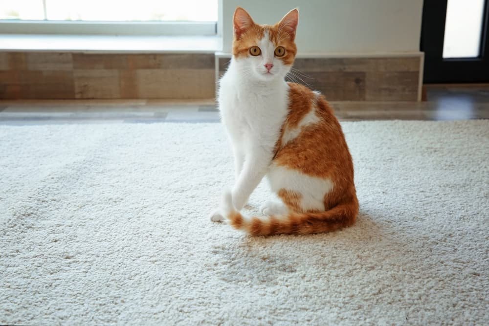 Symptoms of cystitis in cats