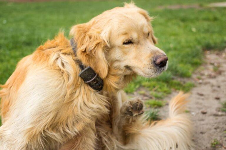 Dog scratching hot spot