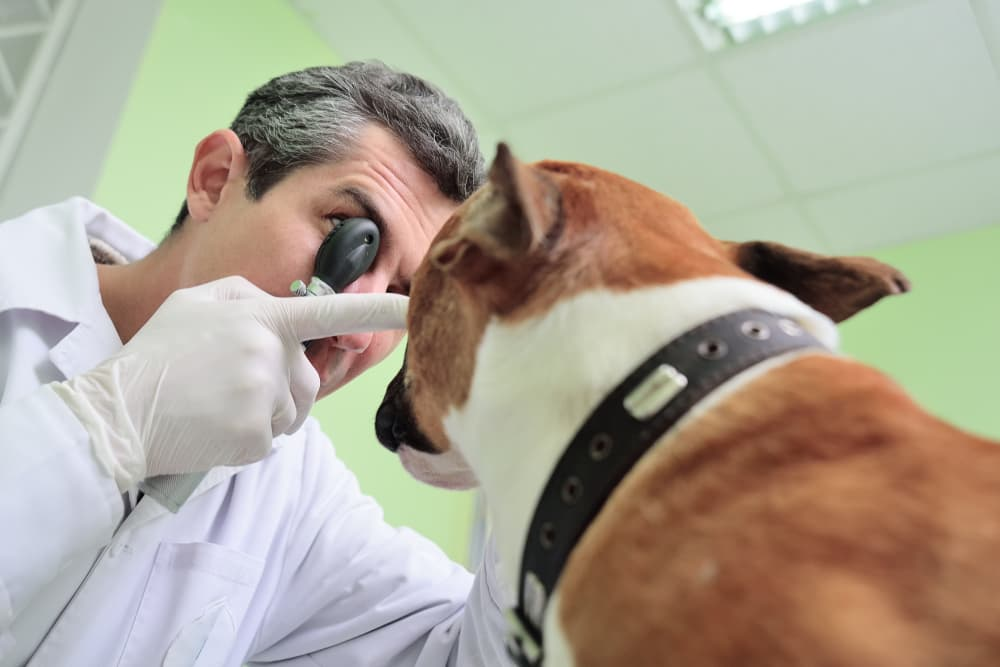 Veterinarian diagnosing red eye in dogs