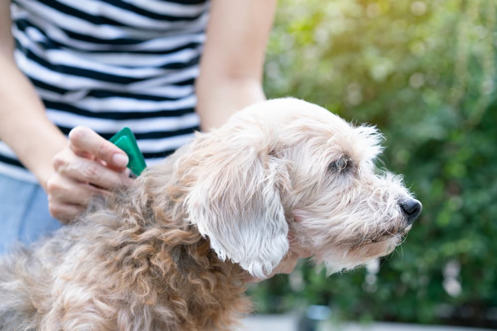 Putting tick prevention medication on a dog