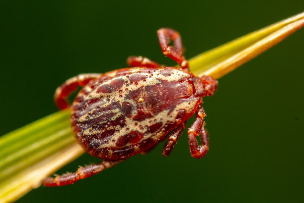 Wood tick on a blade of grass