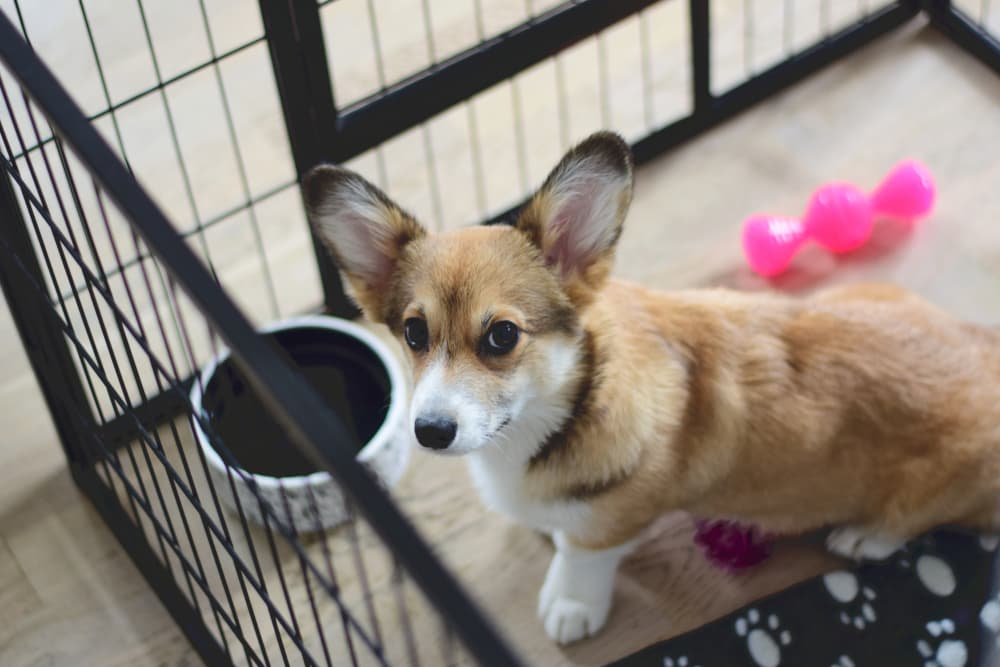 preventing pica in dogs