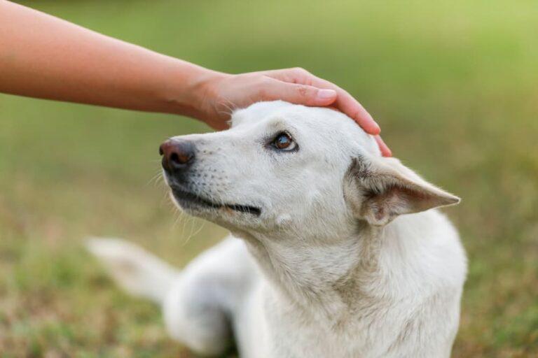 Dog with Addison's disease