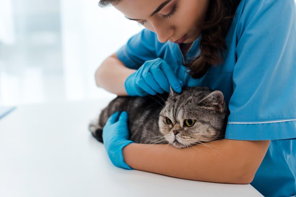 Veterinarian treating cat ear mites