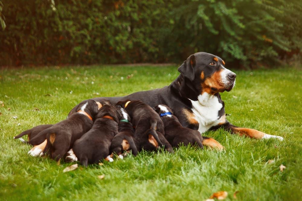 Dog nursing puppies