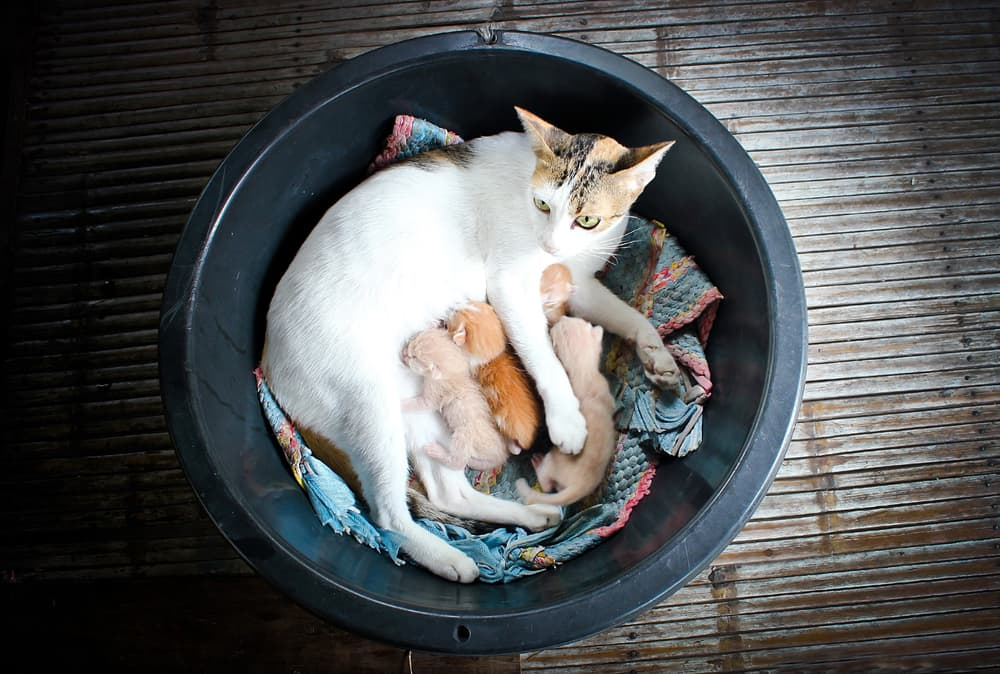 managing pregnancy in cats