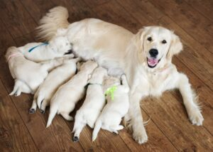 Dog after giving birth to puppies