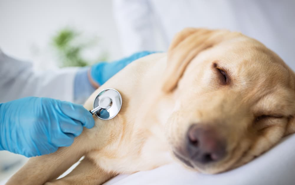 Dog with Addison's disease at the vet