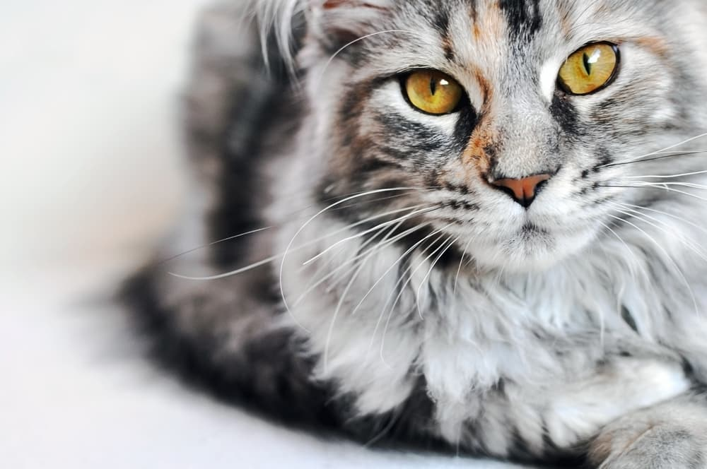 Preventing constipation in cats