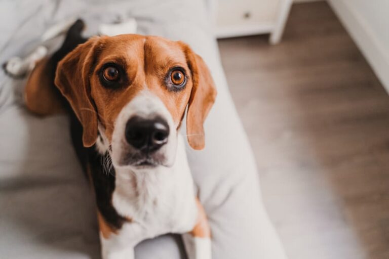 Dog with autoimmune disease