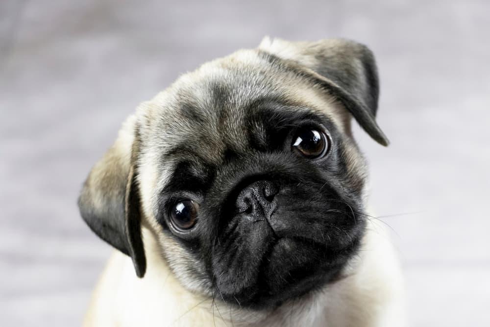 Pug Dog Encephalitis
