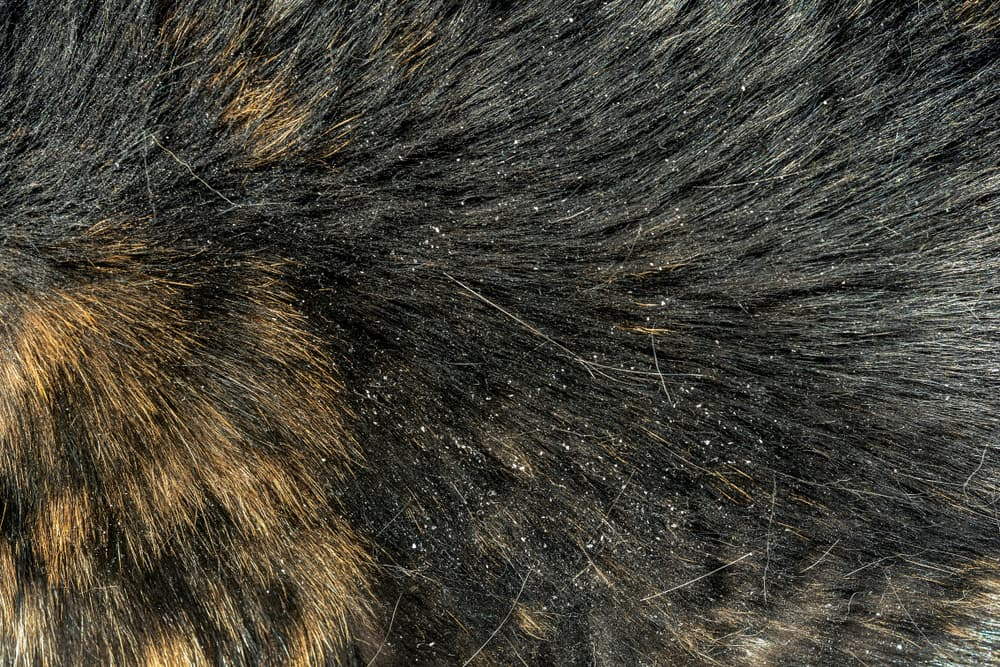 dandruff on dogs skin due to seborrhea