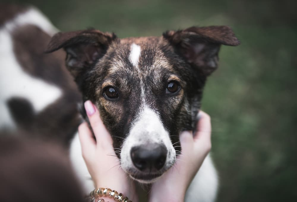 Beagle pain syndrome symptoms