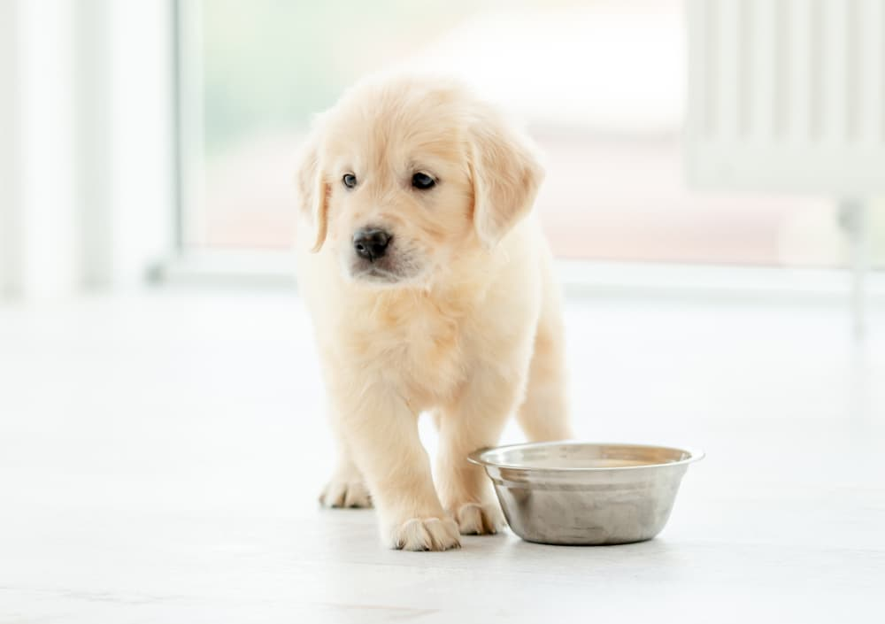 puppy eating food