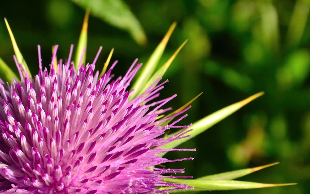 Closeup of milk thistle plant