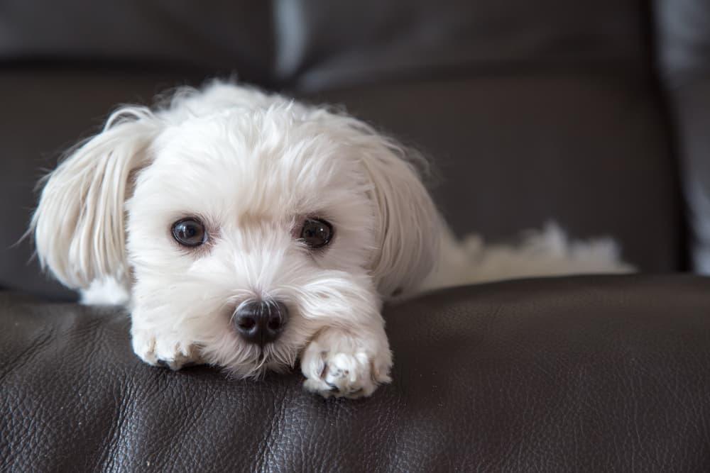 Maltese dog on sofa