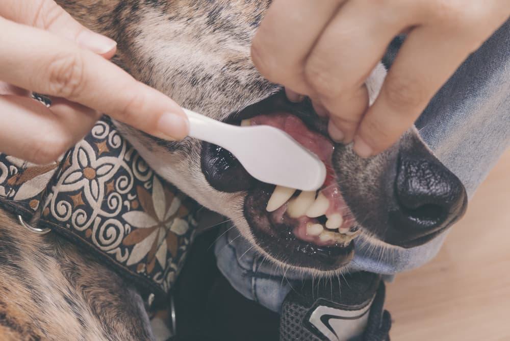woman brushing dog's teeth