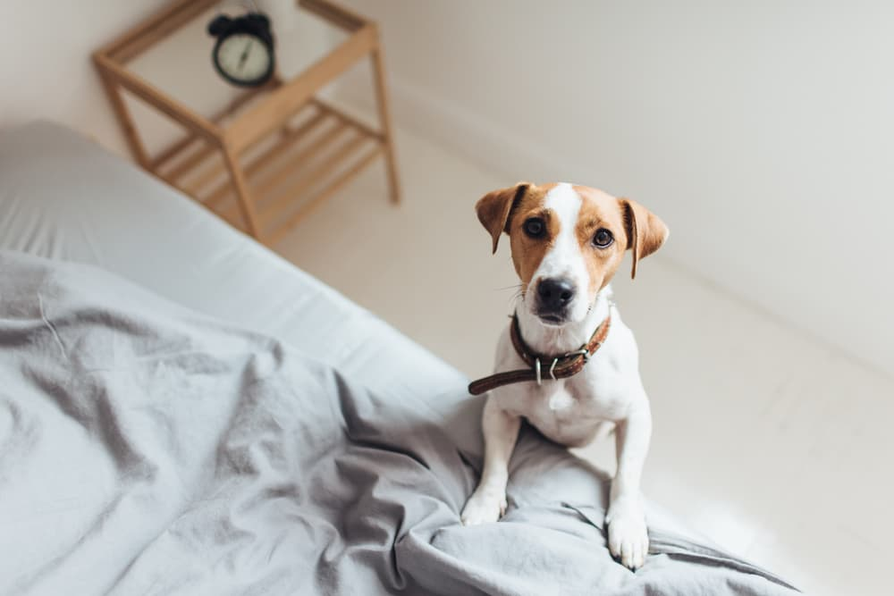 Dog standing on bed
