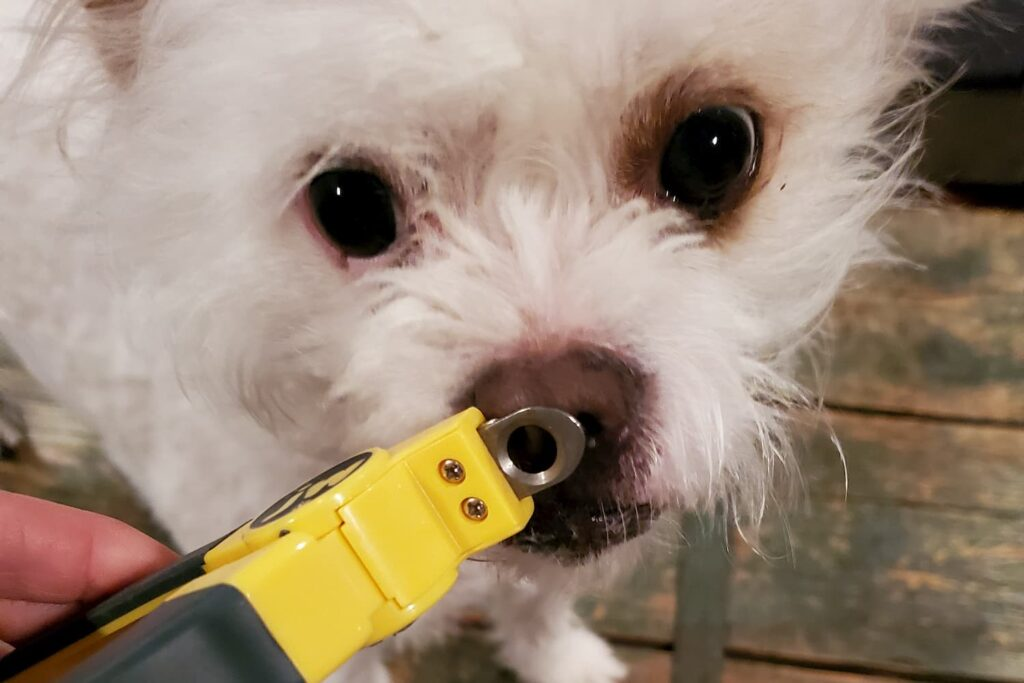 Introducing nail clippers to a dog