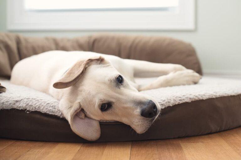 Dog with hypoglycemia
