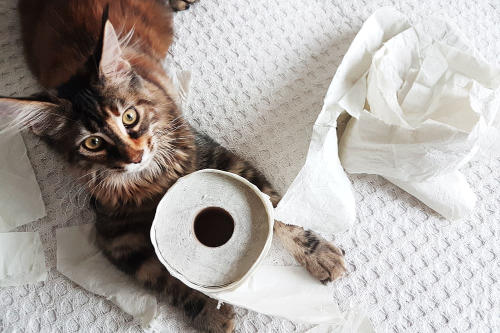 Cat eating toilet paper