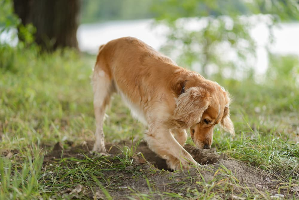 Dog digging in the yard