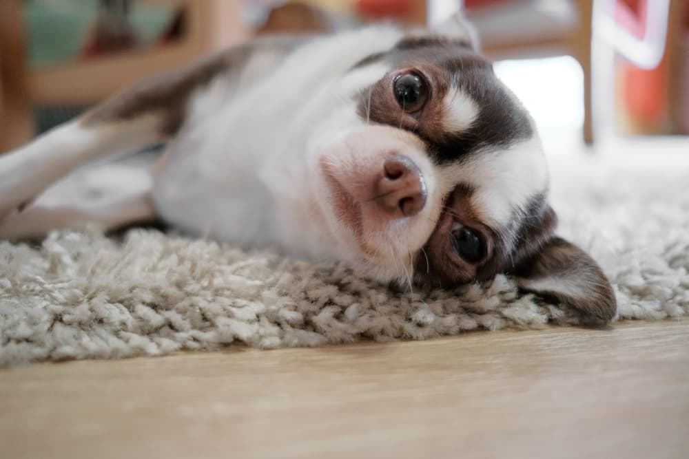 Chihuahua lying on carpet
