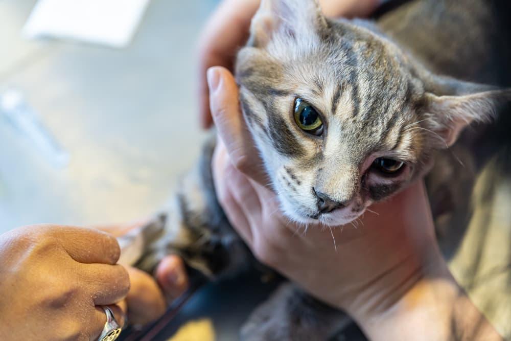 Veterinarian doing cat blood work