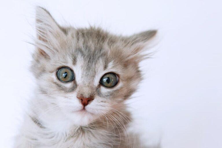 cat heart murmurs