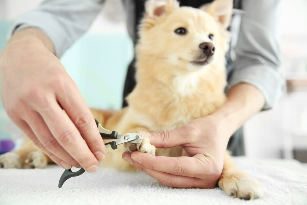 pet owner using dog nail clippers