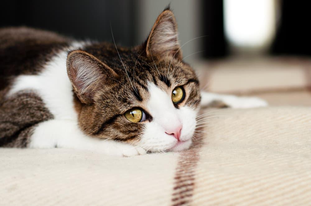Feline Infectious Peritonitis (FIP) in Cats