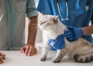 Veterinarian examining cat for pica