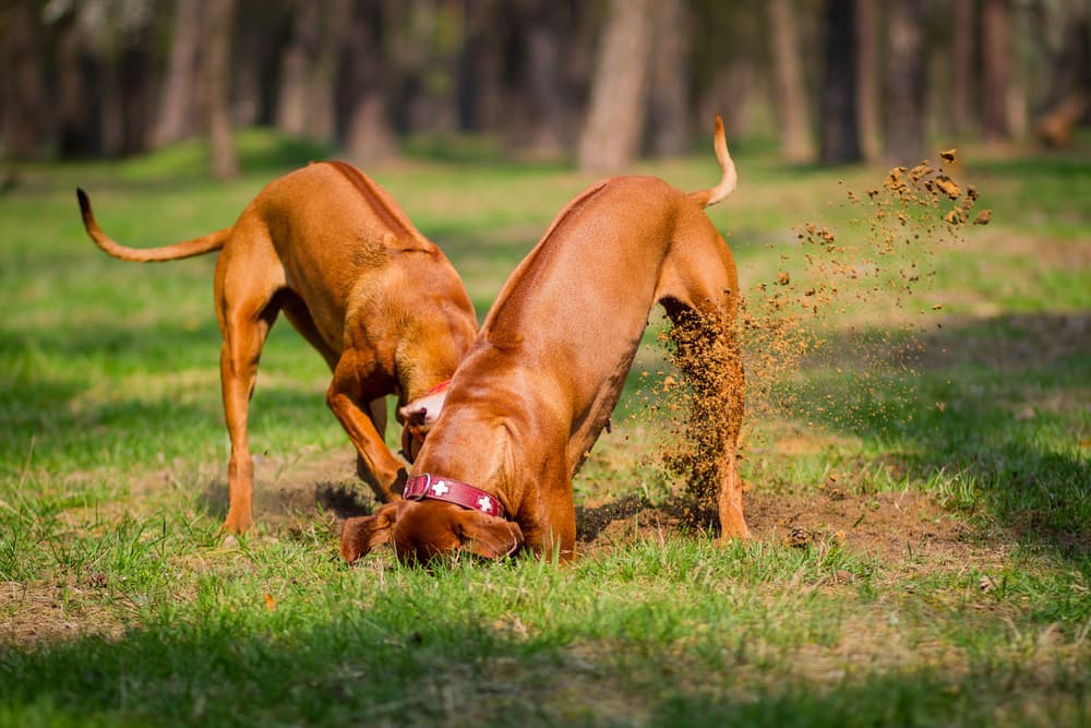 Two dogs digging a hole