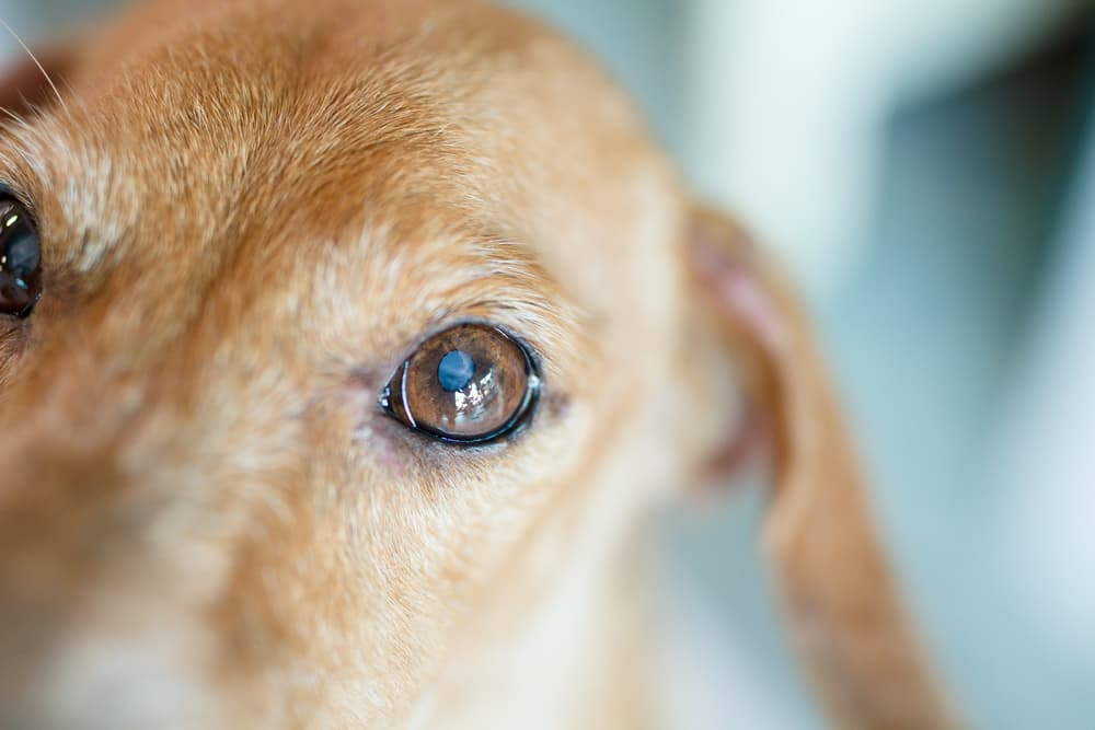 what causes cataracts in dogs