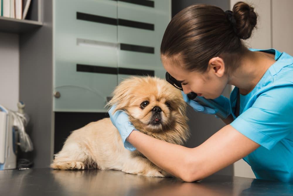 Veterinarian doing a dog eye exam