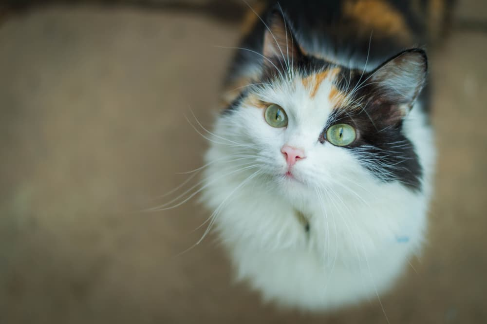 Cat with a heart murmur