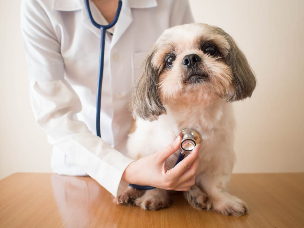 Veterinarian checking dog's lungs