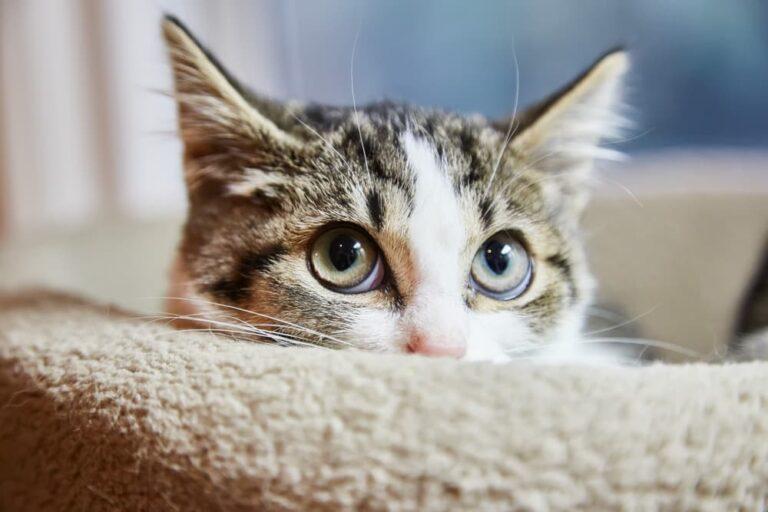 anxious cat hiding