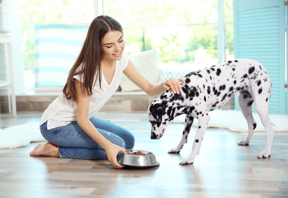Woman feeding Dalmatian