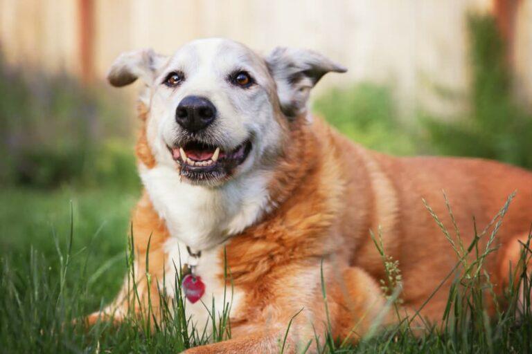 Senior dog lying in grass