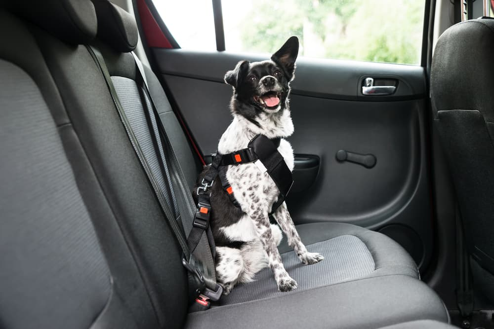 dog wears pet seat belt in car