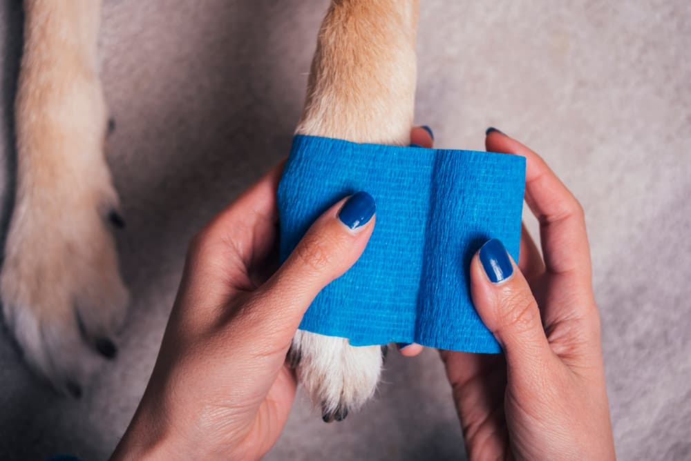 pet owner bandages dog's paw