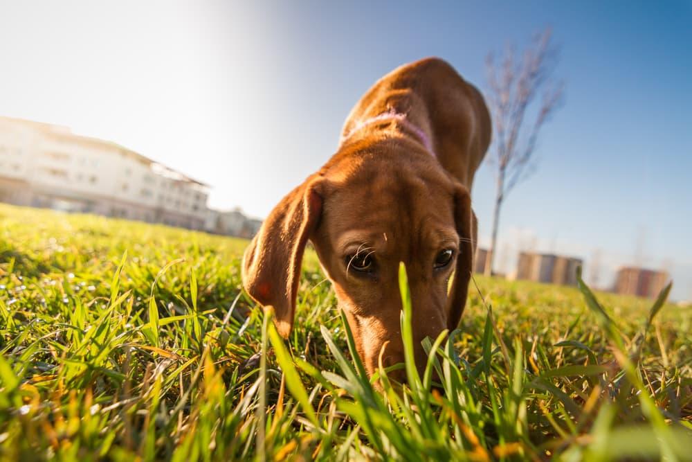 Bloodhound sniffs ground
