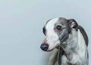 Symptoms of hydrocephalus in dogs