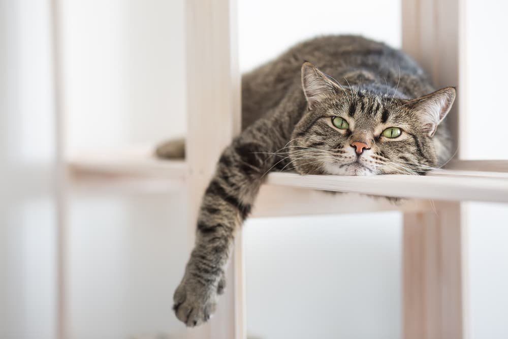 Cat laying on shelf