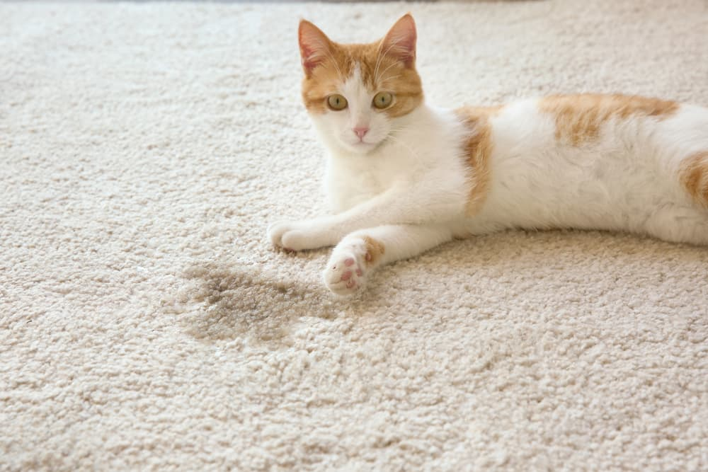 Cat laying next to wet spot on carpet