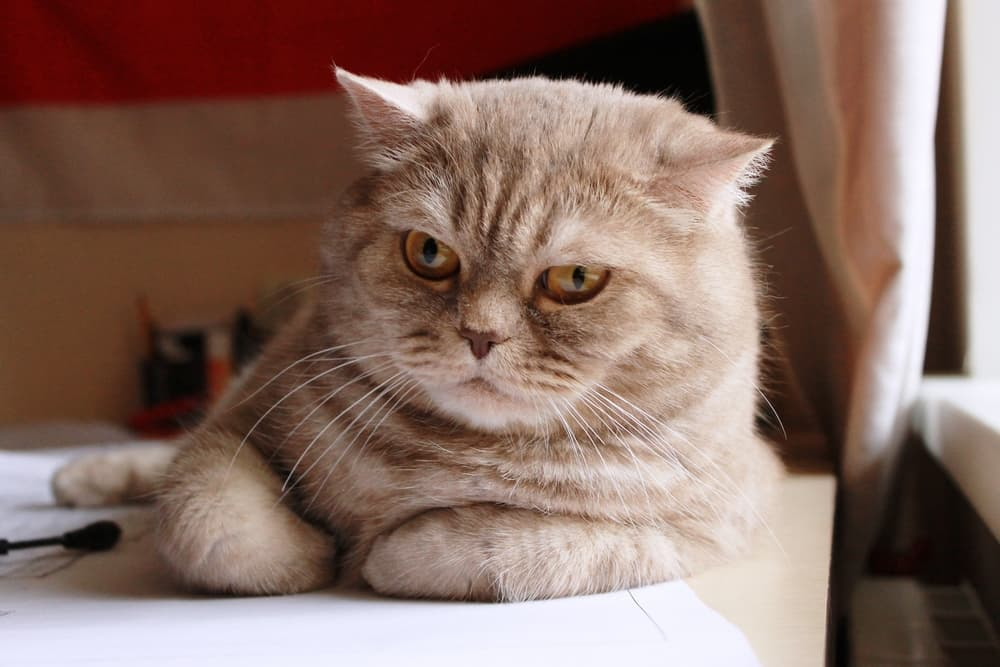 Cat laying down looking annoyed