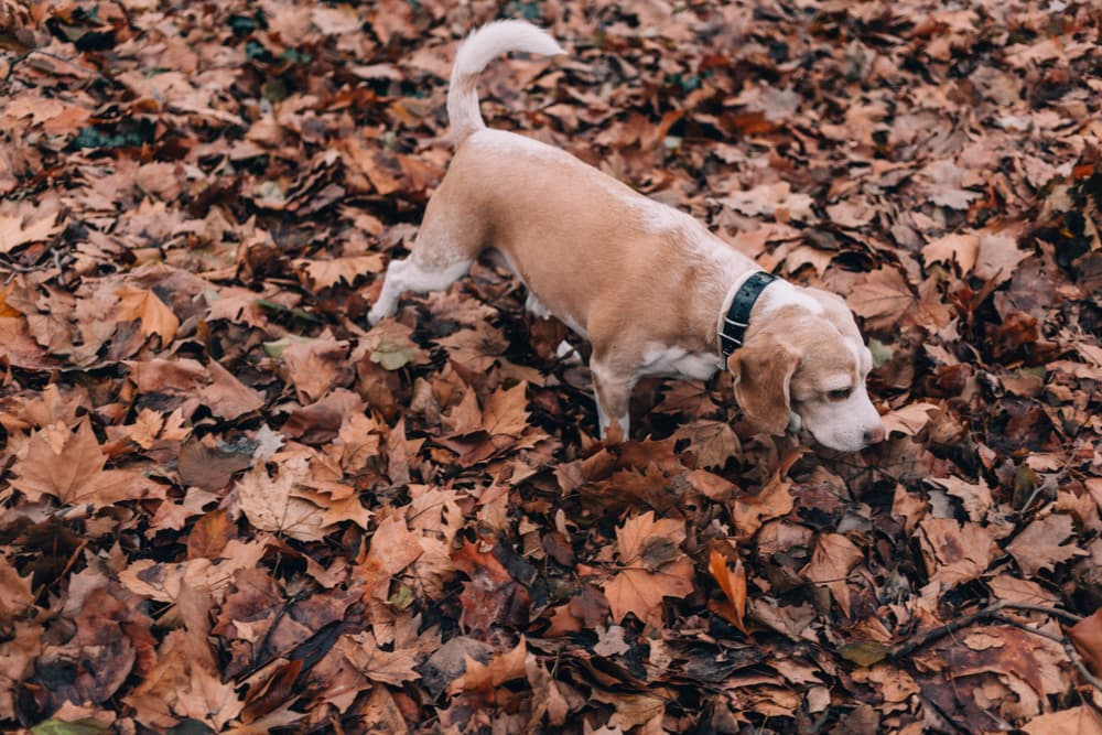 dog sniffs leaves