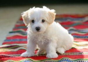 Maltese puppy on blanket