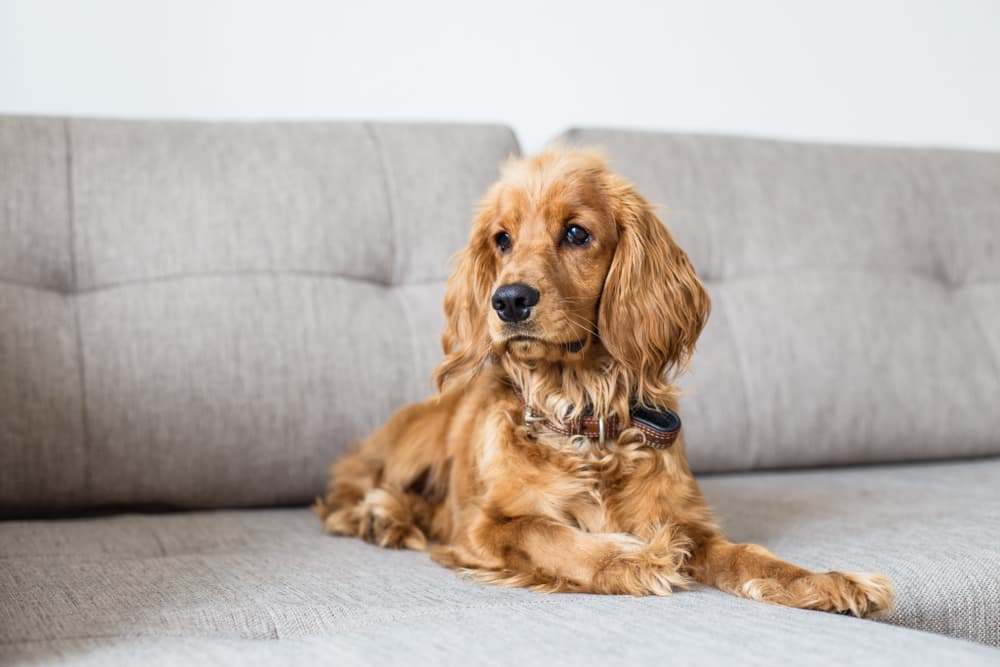 Cocker Spaniel on couch